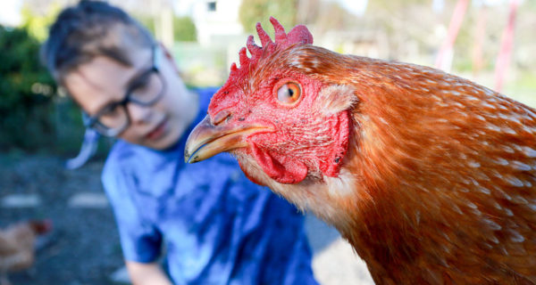 Renwick School pupil Hugo Foote, 8, is excited for the imminent arrival of several chicks. Photo: Paula Hulburt.