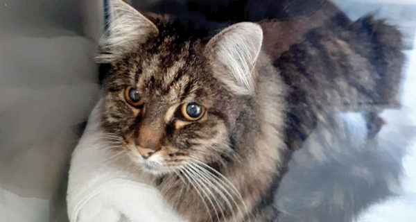 Max the cat was reported missing when someone tried to drown him. Photo: Supplied.