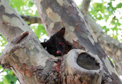 A dead possum in a tree at Liz Davidson Place. Photo: Matt Brown.