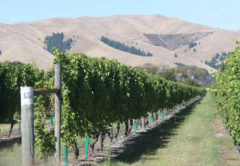 There are around 400 RSE workers in Marlborough helping finish this year's vintage. Photo: Matt Brown.